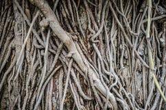 Copertura di strisciamento della pianta della liana sull'albero Immagine Stock Libera da Diritti