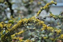 Copertura piacevole del lichene un albero Fotografia Stock Libera da Diritti