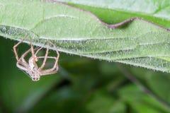 Coperture buttate via del ragno Fotografia Stock