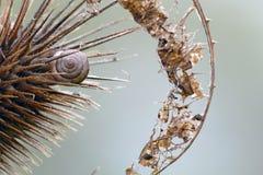 Coperture del gasteropodo in un cardo una foglia asciutta Fotografie Stock Libere da Diritti