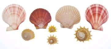 Coperture del mare isolate su bianco Fotografia Stock Libera da Diritti
