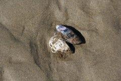Coperture del mollusco nella sabbia Fotografie Stock Libere da Diritti