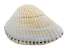 Coperture della bianco-perla del mare, fine su isolate, fondo bianco Fotografie Stock Libere da Diritti