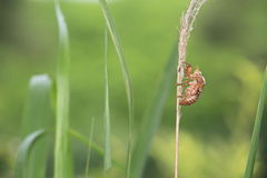 Coperture della cicala Fotografie Stock Libere da Diritti