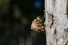 Coperture della crisalide della cicala, Giappone fotografie stock