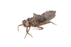 Coperture della crisalide della libellula immagine stock