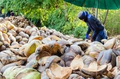 Coperture della noce di cocco di taglio dell'agricoltore Immagini Stock Libere da Diritti