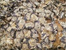 Coperture di ostrica sulla roccia immagine stock libera da diritti