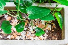 Coperture schiacciate dell'uovo riciclate come fertilizzante organico naturale sul piano Fotografia Stock