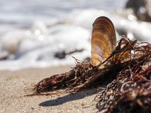 Coperture vuote di un mollusco della cozza del mare fotografia stock libera da diritti