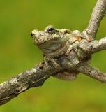 Copes Gray Treefrog Lizenzfreies Stockfoto