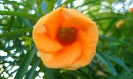 Copies de beaux-arts de papier peint de fond de fleur de Hybiskus photo stock
