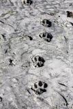 Copies de pied de tigre Photo stock