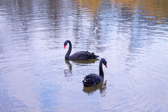 Cople of black swans. Couple of loving black swans are swiming on the lake Stock Images