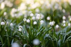 Copo de nieve blanco Leucojum de las flores de la primavera imagen de archivo