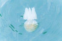Copos coloridos das medusa Imagem de Stock