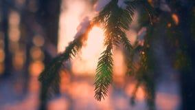 Copos de nieve del primer que caen en las ramas de árbol de abeto rodeadas por la luz del sol en la puesta del sol metrajes