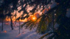 Copos de nieve del primer que caen en las ramas de árbol de abeto rodeadas por la luz del sol en la puesta del sol almacen de metraje de vídeo