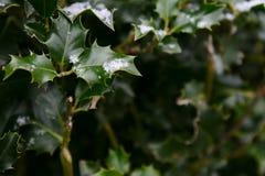 Copos de nieve en las hojas verde oscuro del acebo Imágenes de archivo libres de regalías