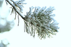 Copos de nieve mullidos en los pernos y las agujas de las ramas del pino Fotografía de archivo