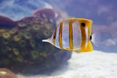 Copper banded butterfly fish Stock Photography