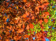 Copper Beech Stock Images