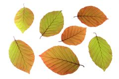 Copper beech (Fagus sylvatica f. purpurea) Stock Images