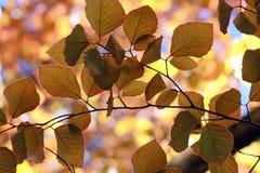 Copper Beech - Fagus Sylvatica Royalty Free Stock Photo