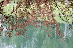 Branches of a copper beech. Copper beech with red leaves at lake shore Royalty Free Stock Images