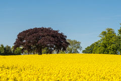 Copper beech tree in field of oilseed. A striking red copper beech tree in a field of yellow oilseed with a blue sky royalty free stock photography