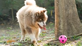 Copper brown Alaskan Malamute dog playing a ball with rim light on the body. Copper brown Alaskan Malamute puppy playing pink ball with rim light on the body Royalty Free Stock Photo