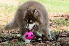 Copper brown Alaskan Malamute puppy playing ball on the grass. Copper brown Alaskan Malamute puppy lying on the ground playing pink ball Stock Photography