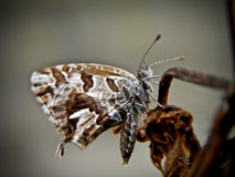 Copper Butterfly 2 Royalty Free Stock Images