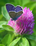 Copper butterfly Royalty Free Stock Photography