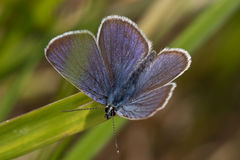 Copper-butterfly Royalty Free Stock Image