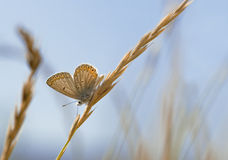 Copper-butterfly Stock Photography