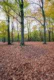 Copper-colored oak leaves fallen in front of oak trees Stock Photo