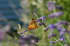 Copper colored Skipper moth on purple Russian Sage Royalty Free Stock Image