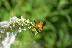 Copper colored Skipper moth on white butterfly bush Royalty Free Stock Image
