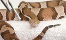 Copper head viper. Very venomous viper in captivety Royalty Free Stock Photo