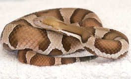 Copper head viper Royalty Free Stock Photos