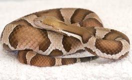 Copper head viper. A venomous copper headed viper Royalty Free Stock Photos