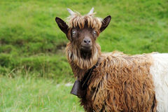 Copper neck goat Royalty Free Stock Photography