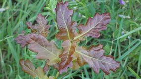 Copper Oak Duir Quercus Tree on Forest Floor. Rarely seen Copper Oak very few survive to maturity stock photo