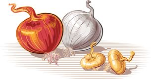 Free Copper Onion And White Onion, Whole And Two Onions. Royalty Free Stock Images - 112338939