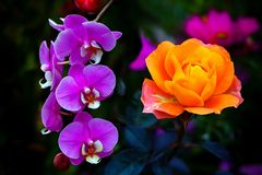 Copper orange hybrid rose and pink orchids. Beautiful combination of copper orange rose and pink orchids in a tropical garden royalty free stock photo