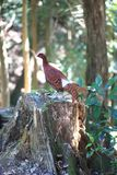 Copper Pheasant male in South Kyushu, Japan royalty free stock photo