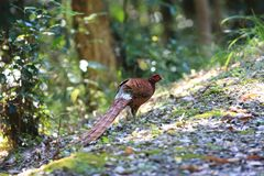 Copper Pheasant male in South Kyushu, Japan stock photos