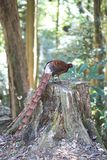 Copper Pheasant male in South Kyushu, Japan stock images