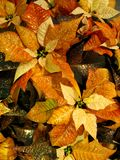 Copper Poinsettia Stock Images